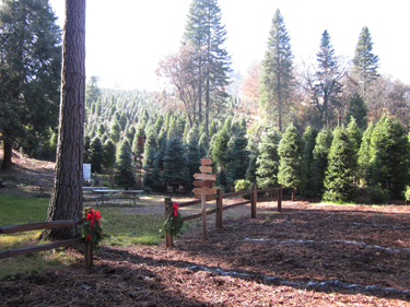 Crystal Creek Farm Choose And Cut Christmas Trees In Camino
